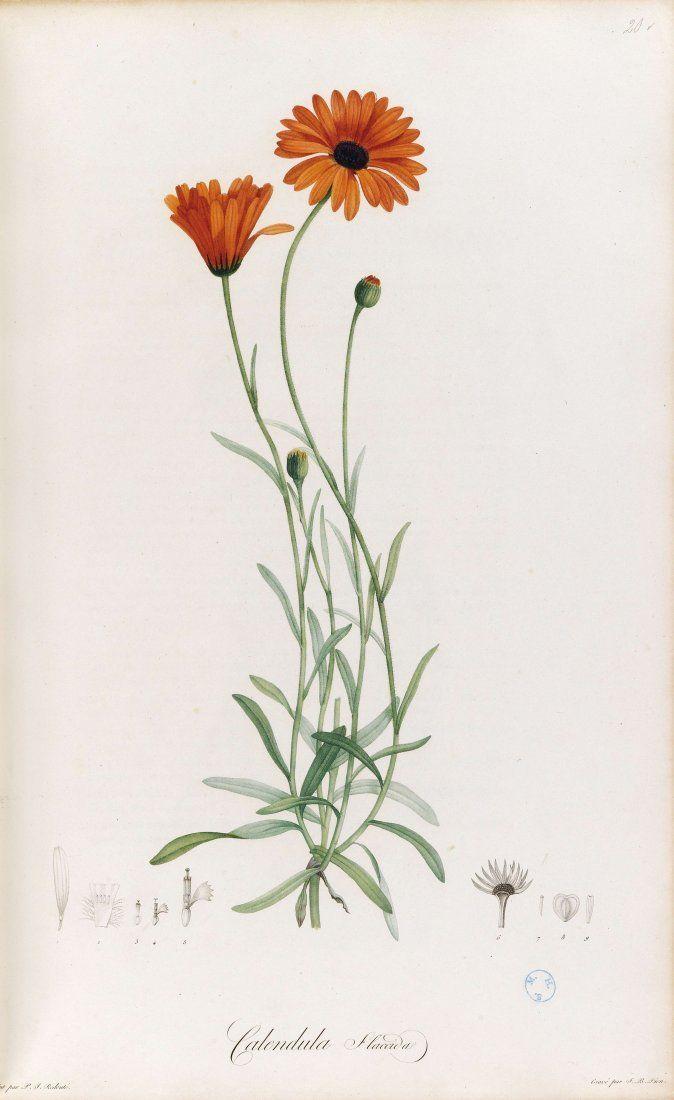 Pierre-Joseph Redouté, Calendula, from Jardin de la Malmaison, 1803. Paris. Source