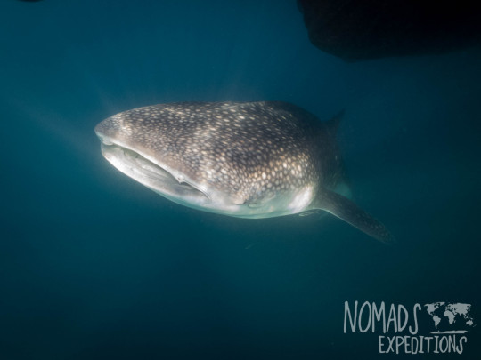 whale sharks shark triton bay nomads expeditions Asia Indonesia underwater diving ocean marine sea animal creature wildlife tropical big swimming snorkeling diving scuba Papua freediving blue fishing platform bagan west Kaimana wild living fish