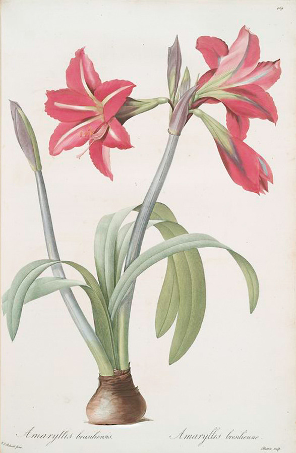 Pierre Joseph Redouté, Amaryllis brasiliensis, Barbados Lily, 1805-16. From Les liliacées, France. Via NYPL