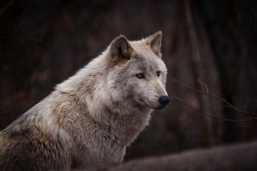 amandaricks.com/natures-majestic-lone-wolf/