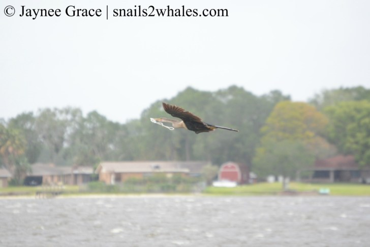 Anhinga tangled in rope, flying over Middle Lake Hamilton