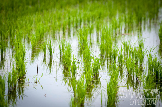 bali indonesia travel adventure culture journey indo pacific explore discover rice fields planting harvest food crop green paddy water