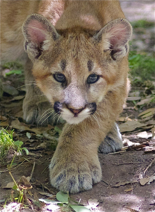 cougars and cubs tumblr