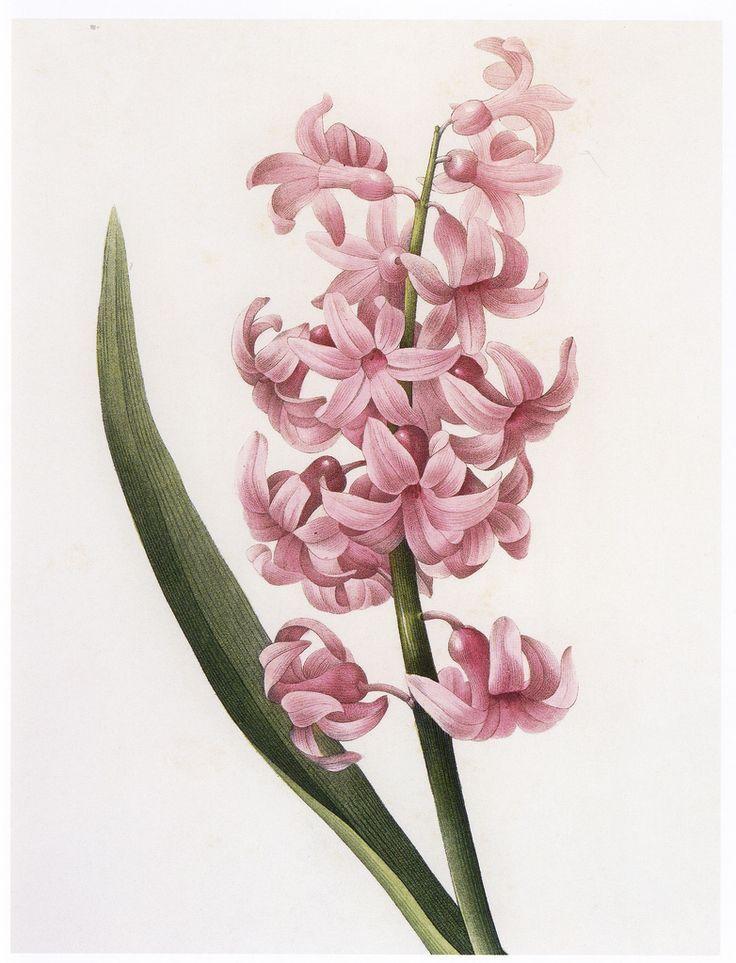 Pierre-Joseph Redouté, Hyacinth from Choix des plus belles fleurs, 1827. Via flickr