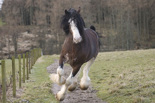 Clydesdale Quarter Horse Foal