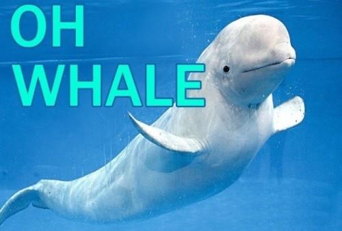 Beluga Whale On Tumblr