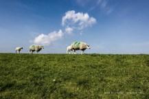 Beobachtet auf Texel: Schafe laufen gern in Reih und Glied