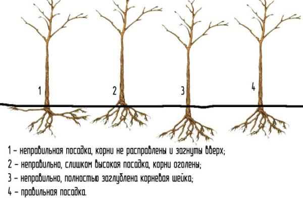 Какие сорта сливы выбрать для ленинградской области. Трудности выращивания сливы в Ленинградской области. Лучшие сорта сливы для северо-запада и их описание