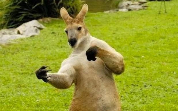 Kangaroo - The Most Aggressive Animal In The World