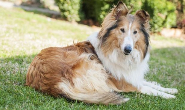 Top 10 Most Loyal Dog Breeds In The World