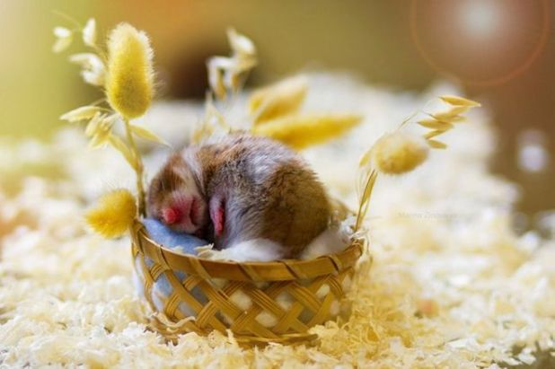 These 20 Cute Hamsters Will Leave You Awestruck