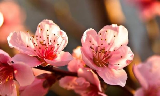 Fruit Tree Flowers Are A Beautiful Gift From Nature