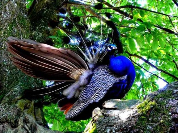 The Most Beautiful And Colorful Photographs Of Peacocks