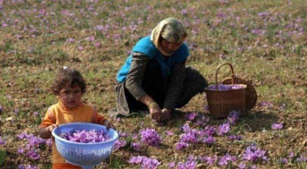 The Kashmir's Saffron Flowers Are Truly Beautiful