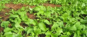 salade-bio-carline
