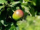 apple (reine de reinette)