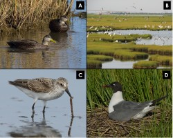 New paper in Wetland Science and Practice that discusses the role of pools in salt marsh and how they related to marsh degradation. We review some incredible new insights into how pools function and summarize their importance as wildlife habitat (e.g. the birds pictured above!).