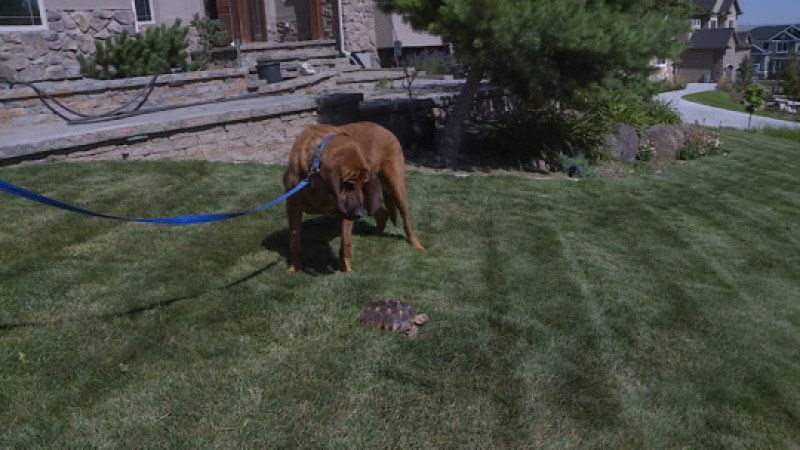 Copper, a 10-year-old bloodhound who worked for the West Valley Police Department, takes a sniff of Harold, a 4-year-old female Sulcata tortoise. The hound located the tortoise earlier this month after she had been lost for several days. The two were reunited in Herriman on Monday, July 23, 2018.
