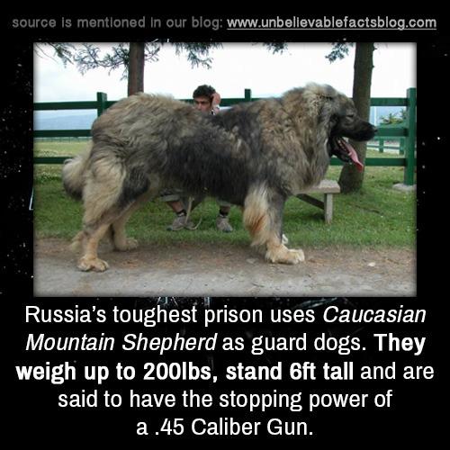 Prison Russian Dogs