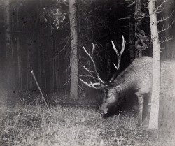 curiousmiscellanies:A bull elk catches a camera string in his antlers, triggering a flash. Yellowstone National Park, Wyoming, July 1913.