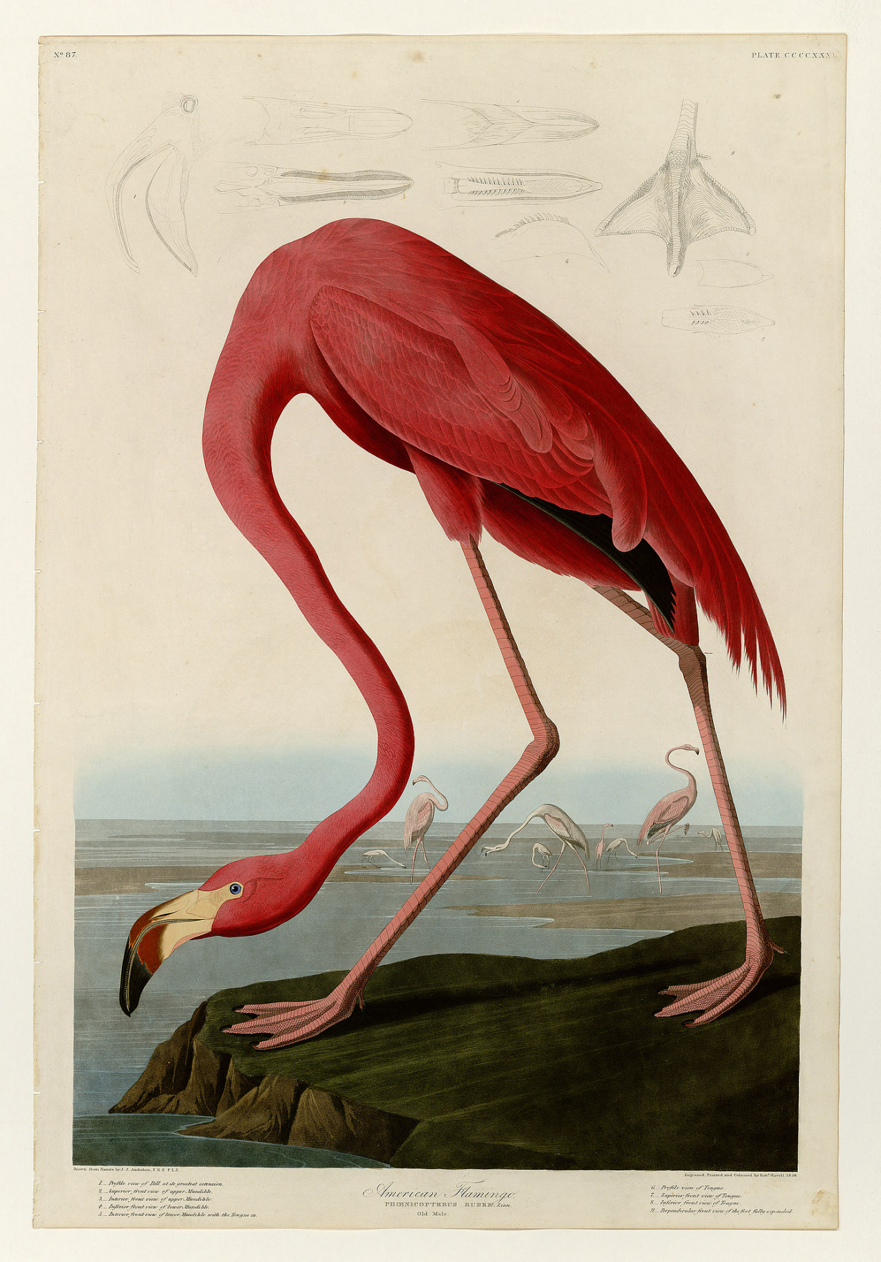 John James Audubon, adult male american flamingo, 1840-44. The birds of America, from drawings made in the United States and their territories. Via University of Pittsburgh