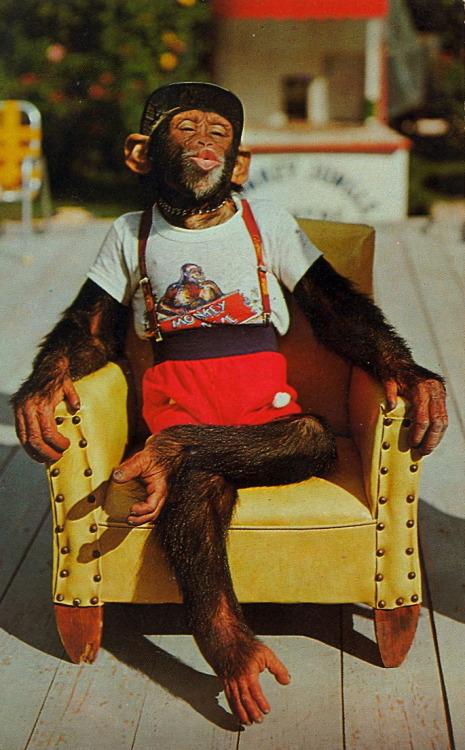Chimpanzee On Tumblr