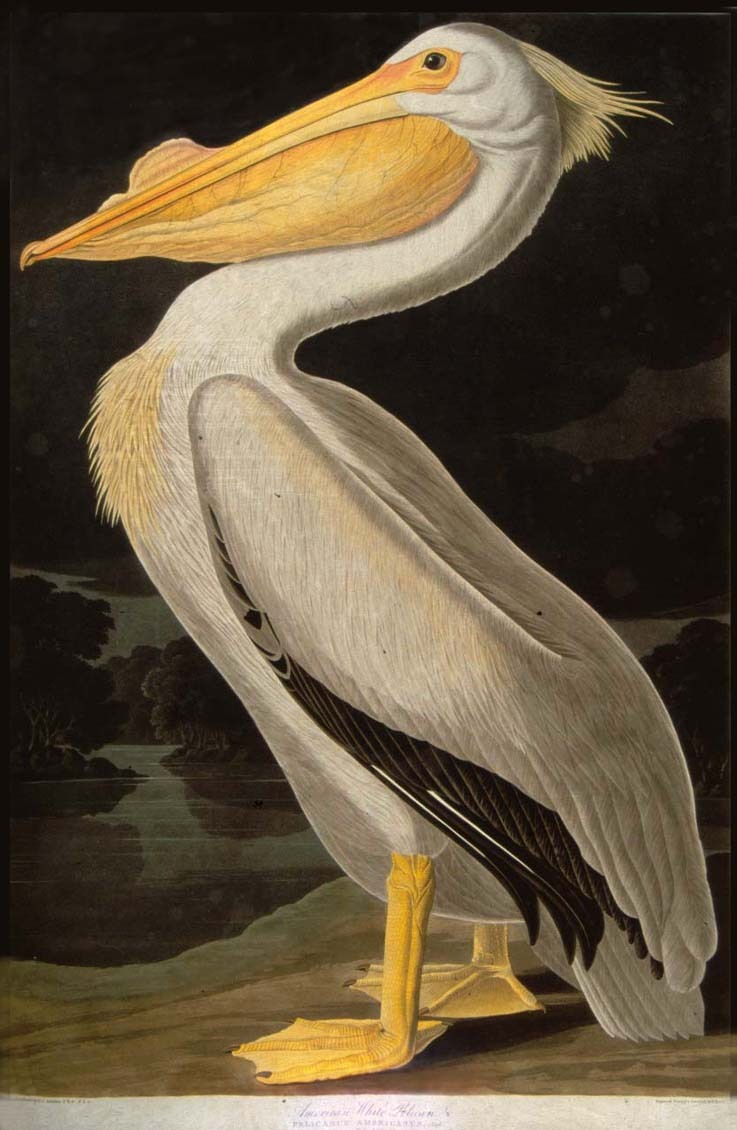 John James Audubon, The White Pelican from Audubon's Birds of America, 1827-38. Via University of Glasgow / flickr