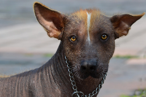 Mexican hairless dog looking straight at the camera. Has a sharp white and tan strip of fur down the center of its head