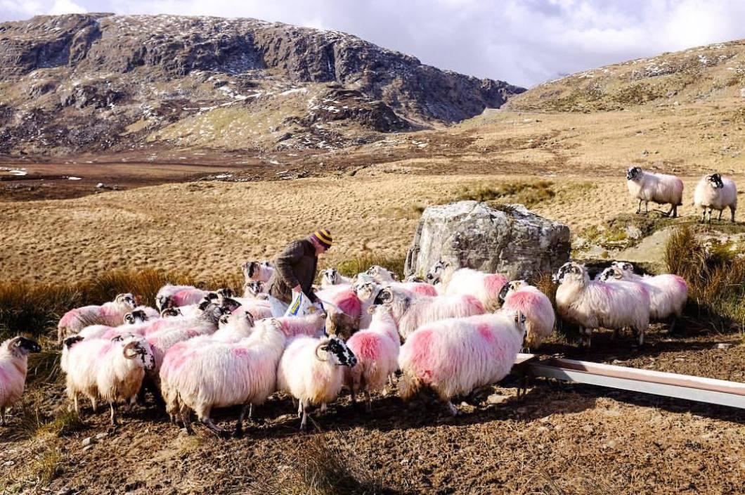 Feeding the sheeps. Ireland, 2018..#photooftheday #onephotoaday #photography #fujix100t #beach #ireland #eire #free #freedom #sea #ocean #seaside #cliff #valentiaisland #kerry #sheep #sheeps #schafe #hungry #lambs #feedingtime #landscape #landscapephotography #nature #naturephotography #ringofkerry #thewildatlanticway (hier: Portmagee)