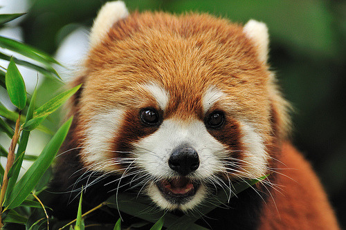 Panda Surprised Red Gif