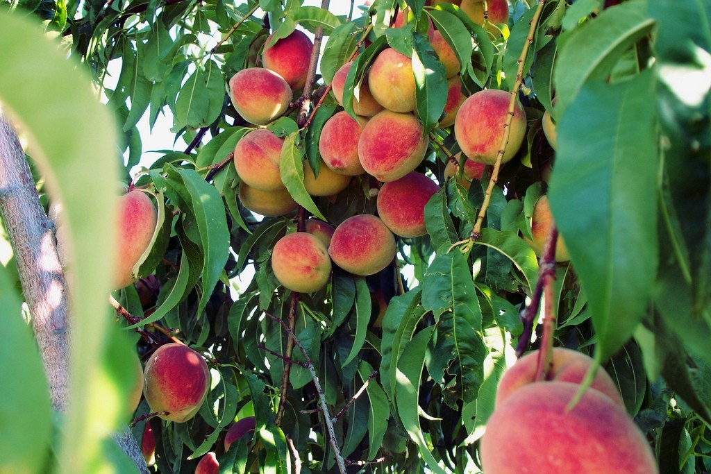 Time for peach pie and peaches for breakfast!