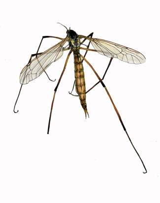 web_cranefly