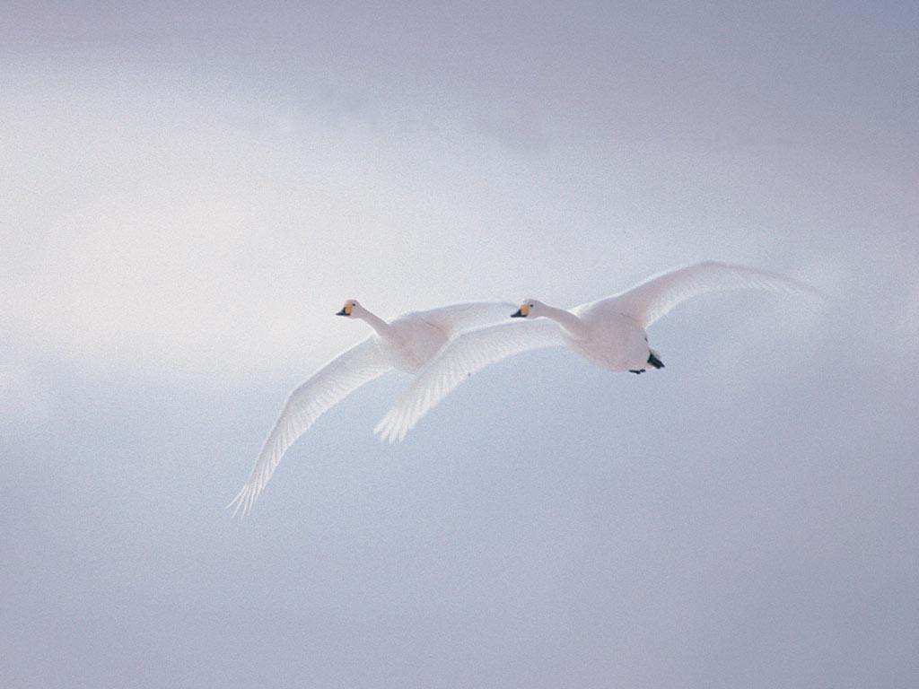 https://i2.wp.com/7art-screensavers.com/screenshots/birds/white-swans.jpg