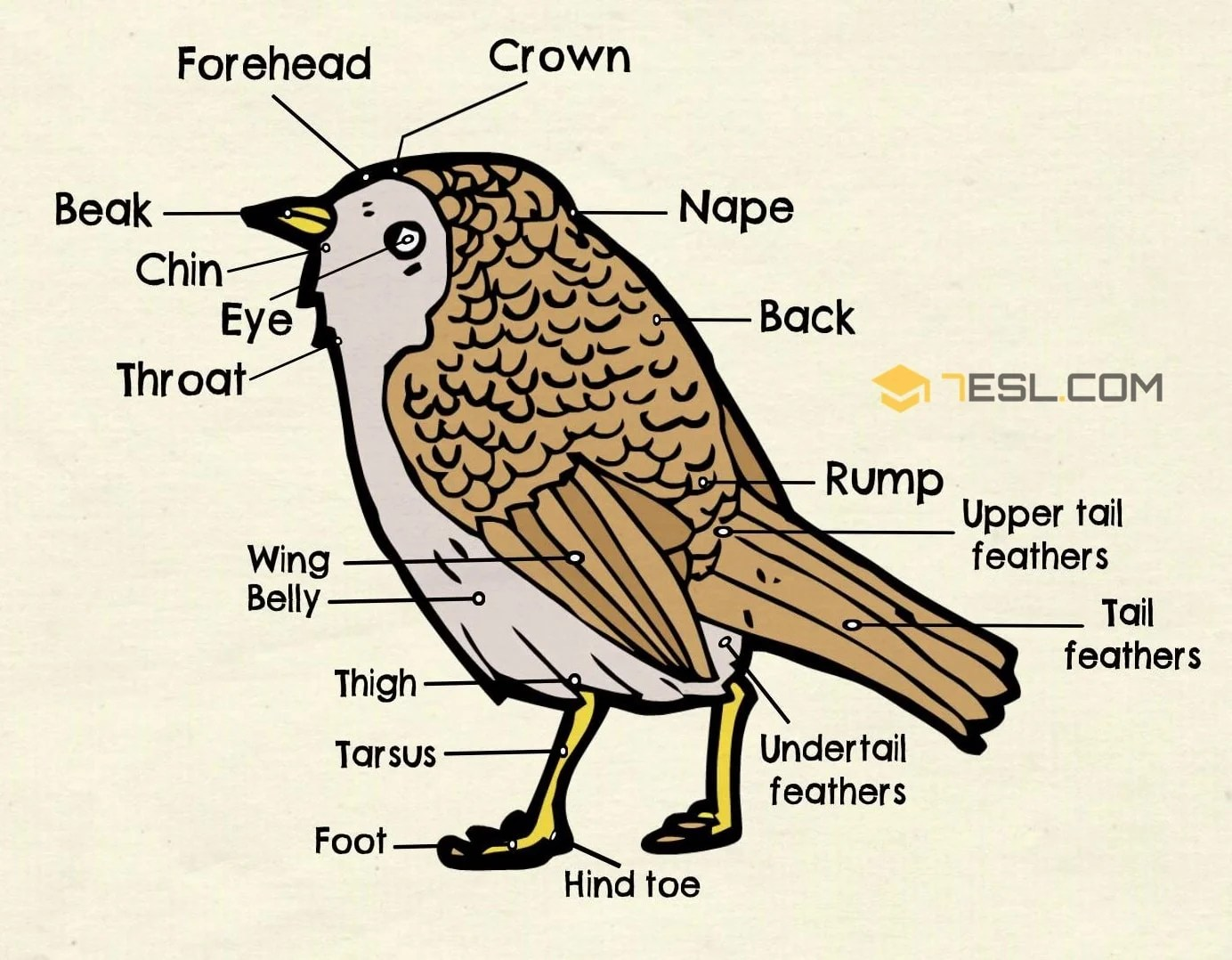 Different Parts Of A Bird In English Bird Anatomy