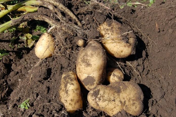 В Рязани подешевел картофель