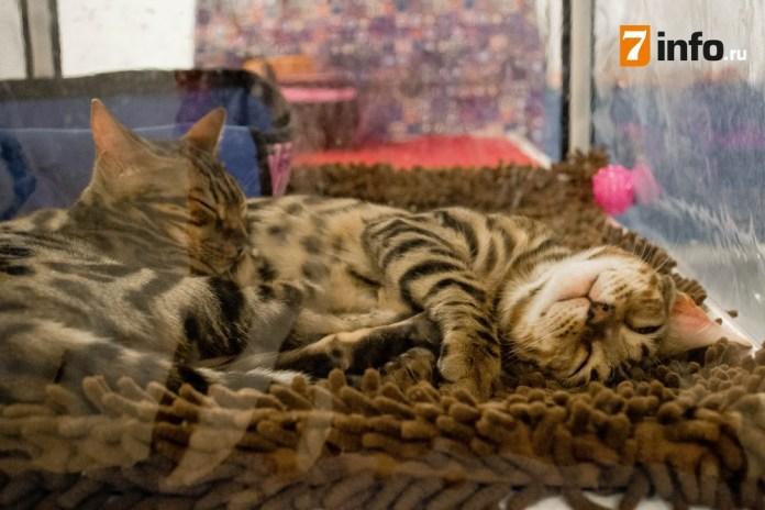 В Рязани проходит выставка кошек «Осенние смотрины»