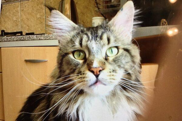 Кошка заболела коронавирусом в Гонконге