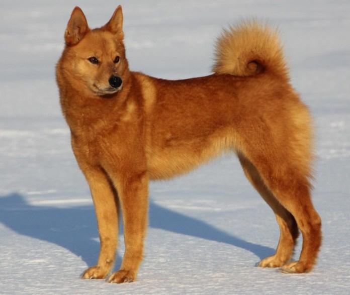 В России официально утвердили новую породу собак