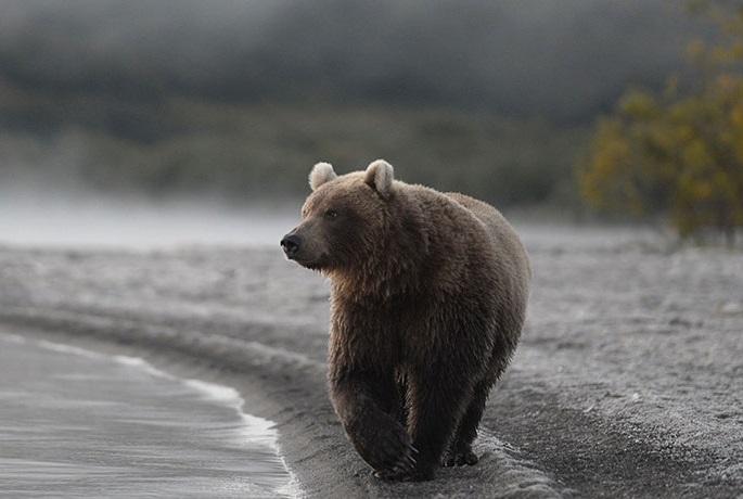 Медведи начали гоняться за детьми в Костромской области