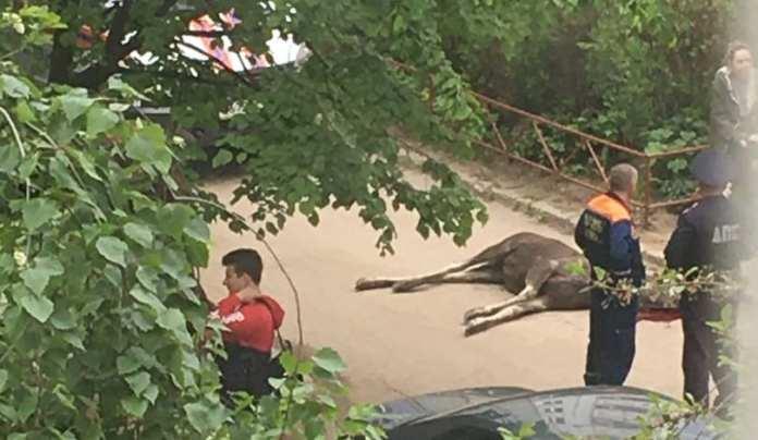 В одном из дворов Рязани погиб лось