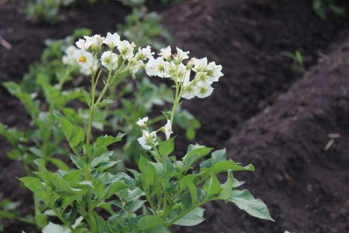 В Скопинском районе выращивают новый сорт картофеля