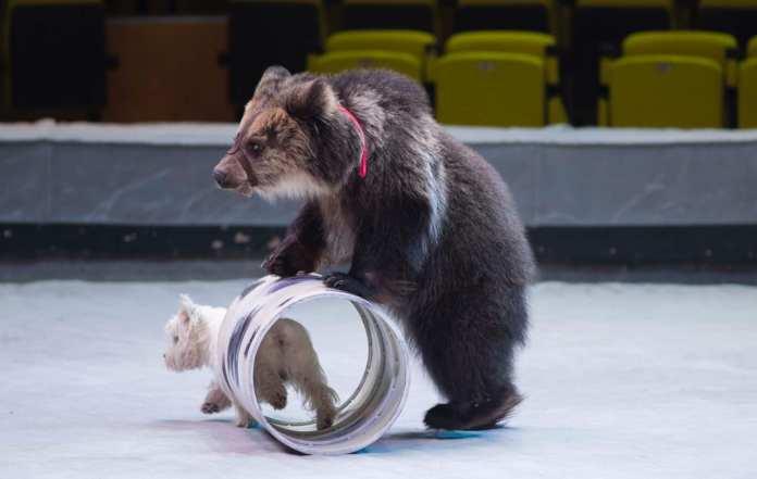 «Это хищник, а не Винни-Пух». Как работают дрессировщики медведей?