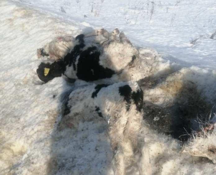 Мёртвых телят выбросили на трассе в Рязанской области