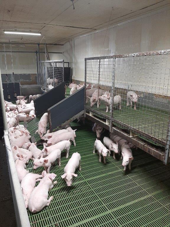 Крупнейшее рязанское свиноводческое предприятие наращивает производство