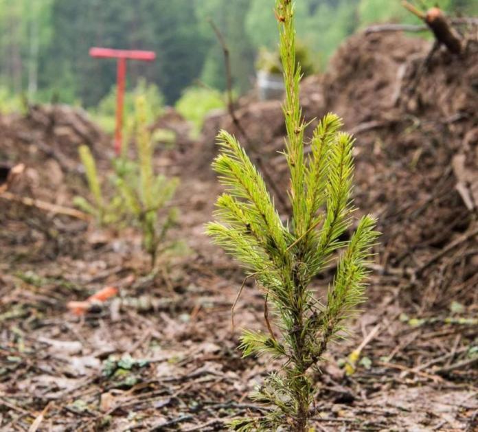 Военная прокуратура Рязанского гарнизона выявила в лесничестве Минобороны нарушения по посадке деревьев