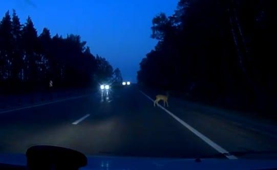 На трассе под Рязанью сняли на видео оленёнка