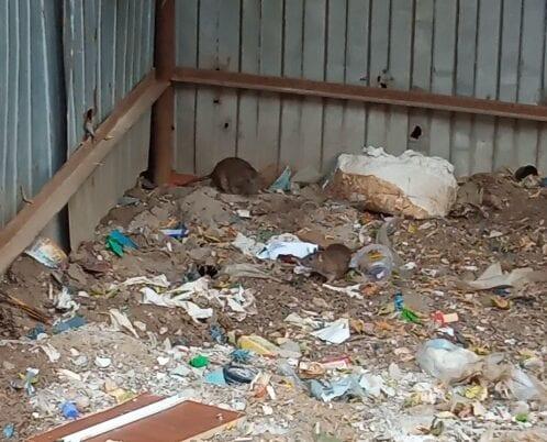 Житель Рязани пожаловался на крыс на улице