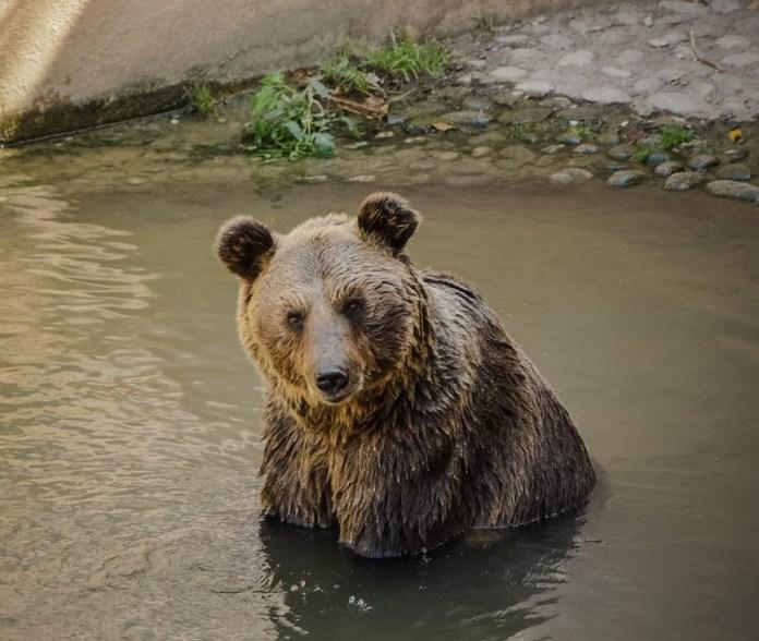 Во Владимирской области медведи выходят из леса и гуляют по протоптанным людьми дорогам