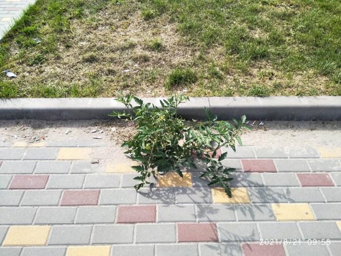 В Шилове вырос куст помидоров на тротуаре