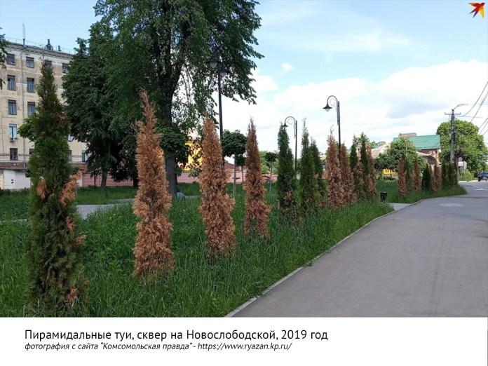 Рязанские активисты призвали мэрию сохранить голубые ели в центре города